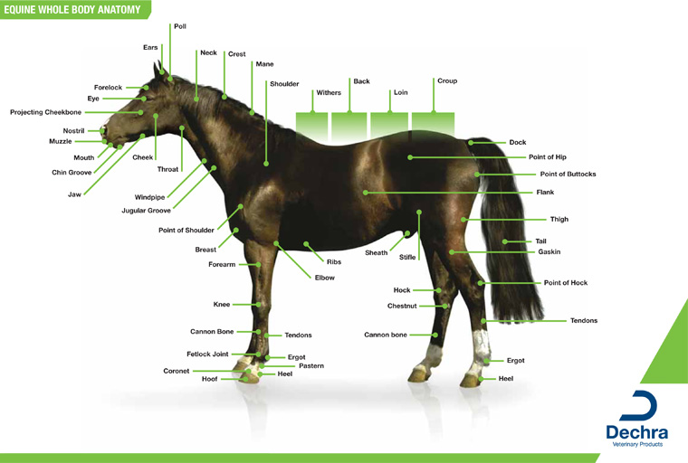 Downloads – Anatomy Charts – Dechra Veterinary Products